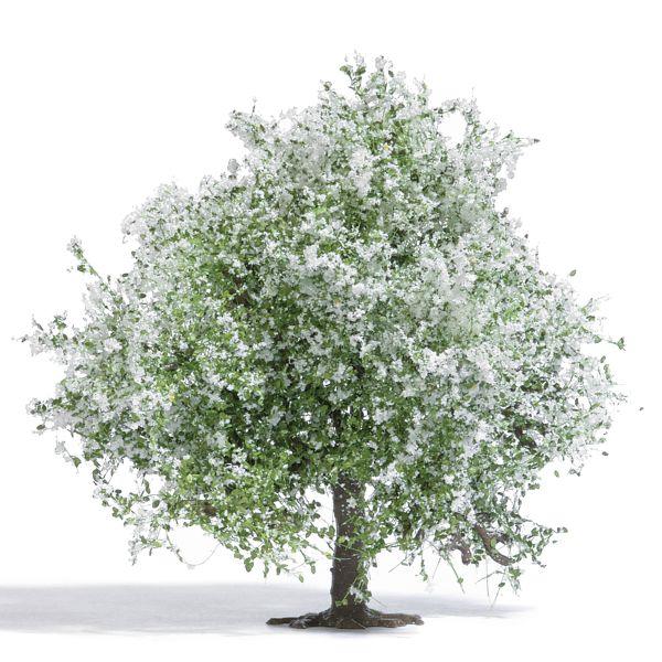 Apfelbaum 75 mm, blühend